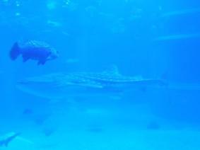 Aquarium d'Osaka, requin baleine