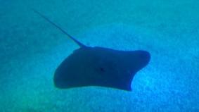 Aquarium d'Osaka, raie