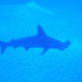 Aquarium d'Osaka, requin marteau