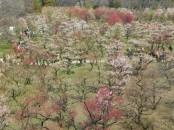Château d'Osaka - Pruniers en fleur