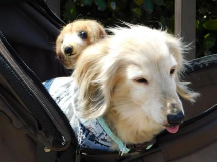Château d'Osaka - Promenade dominicale des chiens... Celui-ci porte son doudou chien sur le dos !