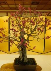 Himeji - Jardin Kôko-en - Cerisier taillé en bonzaï