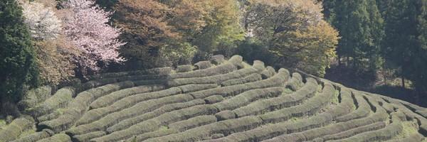 Balade dans la plantation de thé deBoseong