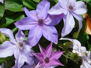 Suncheon Bay National Garden - L'hibiscus, la fleur nationale...