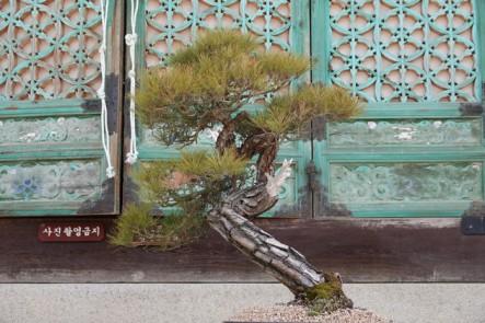 Temple Songgwangsa - Bonzai