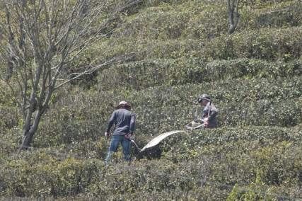 Boseong - Plantation de thé Daehan Dawon - On remarque le taille-buisson de thé courbé pour donner la bonne forme !