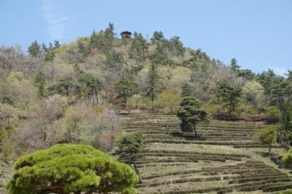 Boseong - Plantation de thé Daehan Dawon - On aperçoit l'observatoire où nous sommes montés...