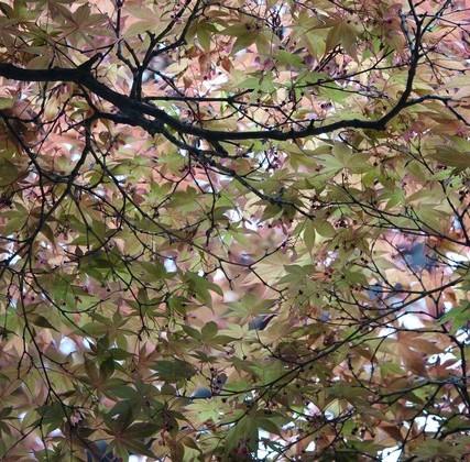 Séoul - Jardin secret du Palais Changdokkung - Superbes érables bien colorés !