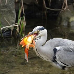Séoul - Canal Cheonggyecheon - Repas du héron : pas facile à retourner, le poisson !