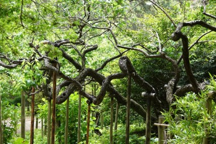 Yokohama - Sankeien Garden - Jardin extérieur - Très vieux abricotiers, préservés car leur aspect rappelle le corps d'un dragon...