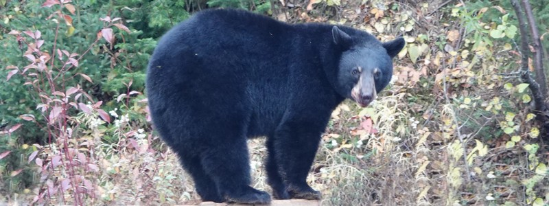Sur la trace des ours noirs, au Domaine de nosAncêtres