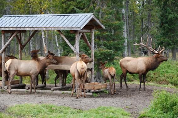 Zoo sauvage de Saint Félicien - Wapitis