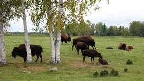 Zoo sauvage de Saint Félicien - Bisons