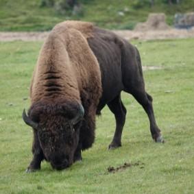 Zoo sauvage de Saint Félicien - Bison