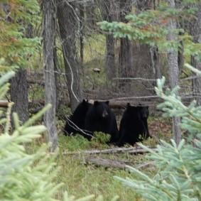Zoo sauvage de Saint Félicien - Ourse brun et ses petits