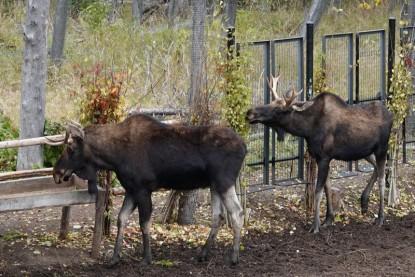 Zoo sauvage de Saint Félicien - Orignaux