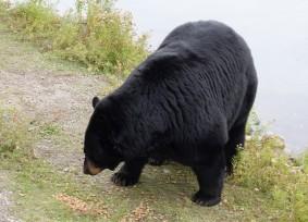 Zoo sauvage de Saint Félicien - Ours brun