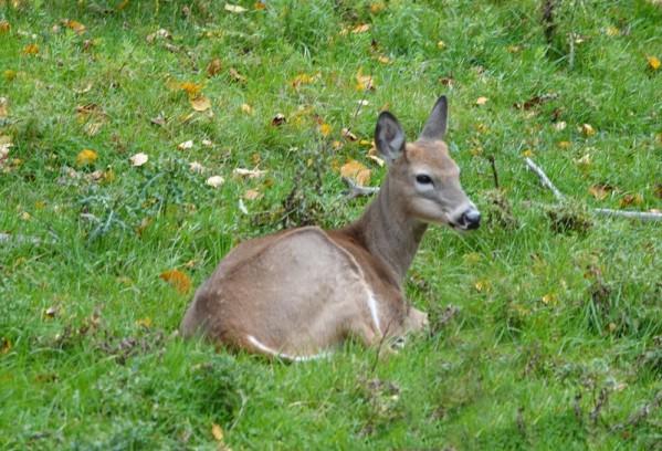 Zoo sauvage de Saint Félicien - Cerf de Virginie