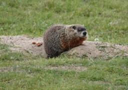 Zoo sauvage de Saint Félicien - Marmotte