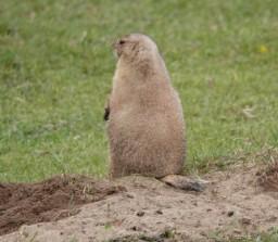Zoo sauvage de Saint Félicien - Chien de prairie