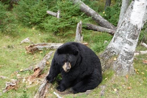Zoo sauvage de Saint Félicien - La plus vieille ourse brun du parc, âgée de 30 ans