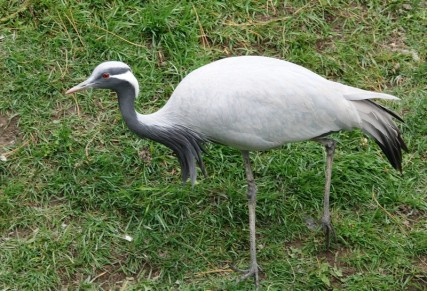 Zoo sauvage de Saint Félicien - Grue