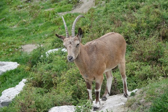 Zoo sauvage de Saint Félicien - Bouquetin