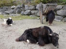 Zoo sauvage de Saint Félicien - Yacks