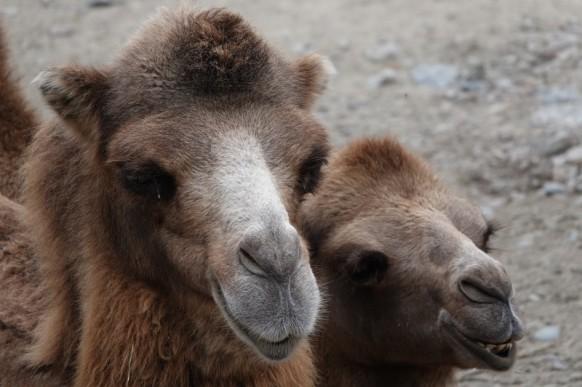 Zoo sauvage de Saint Félicien - Chameaux de Mongolie