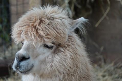 Zoo sauvage de Saint Félicien - Alpaga
