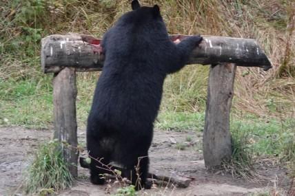 Sacré-Cœur - Domaine de nos Ancêtres - Observation de l'ours noir en milieu naturel