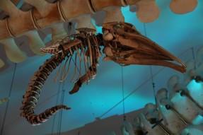 Tadoussac - Centre d'Interprétation des Mammifères marins - Squelette d'embryon de cétacé