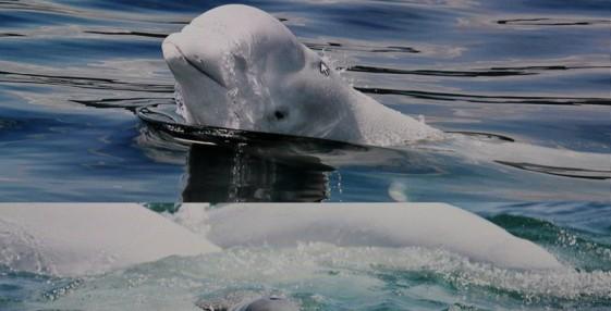 Tadoussac - Centre d'Interprétation des Mammifères marins - Reproduction d'une photo de béluga, le cétacé le plus présent dans la baie