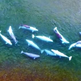 Tadoussac - Centre d'Interprétation des Mammifères marins - Photo extraite de la vidéo - Les bélugas adultes sont blancs tandis que les jeunes sont gris
