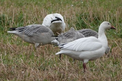Oies sauvages près du Cap Tourmente