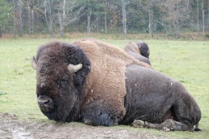 Parc Oméga - Bison