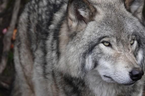 Parc Oméga - Loup gris