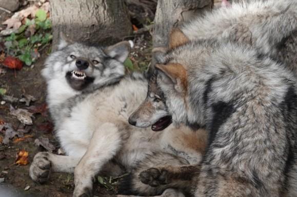 Parc Oméga - Loups gris