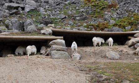 Parc Oméga - Chèvres des Rocheuses