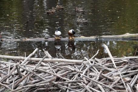 Zoo sauvage de Saint Félicien - Canards - Au premier plan, un barrage construit par des castors