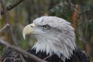 Zoo sauvage de Saint Félicien - Aigle