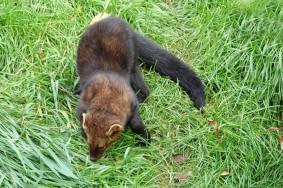 Zoo sauvage de Saint Félicien - Renard