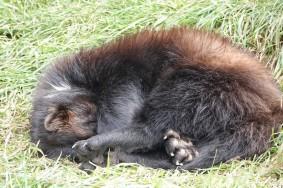 Zoo sauvage de Saint Félicien - Glouton
