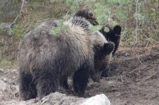 Zoo sauvage de Saint Félicien - Grizzli