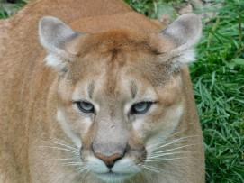 Zoo sauvage de Saint Félicien - Cougar