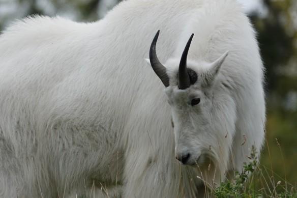 Zoo sauvage de Saint Félicien - Chèvre des montagnes
