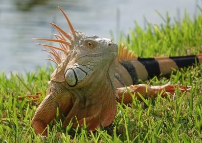 Miami - Fairchild Tropical Botanical Garden - Gros iguane