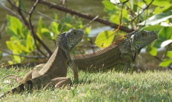 Miami - Fairchild Tropical Botanical Garden - Iguane
