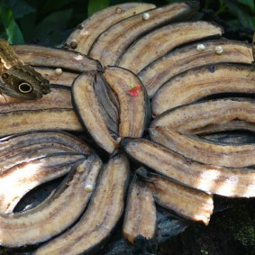 Miami - Fairchild Tropical Botanical Garden- Pavillon des Papillons - Repas de bananes !