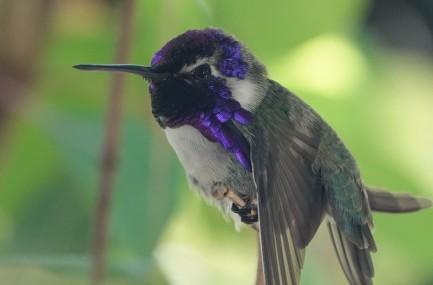 Miami - Fairchild Tropical Botanical Garden- Pavillon des Papillons - Colibri d'à peine 3cm !